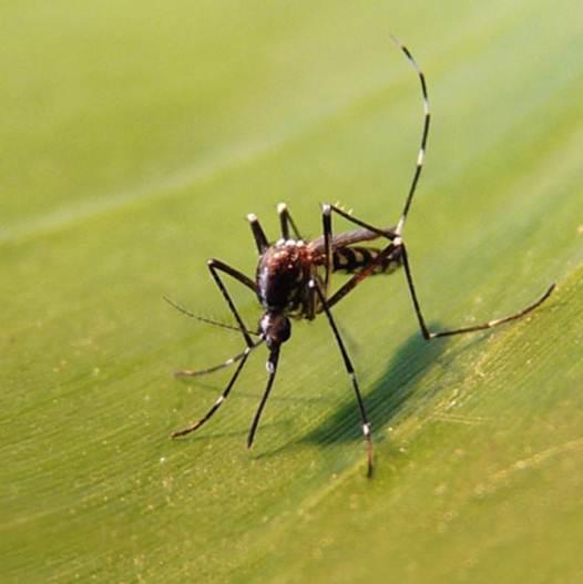 Eid atlantique les moustiques exotiques esp ces - Piege a moustique tigre ...